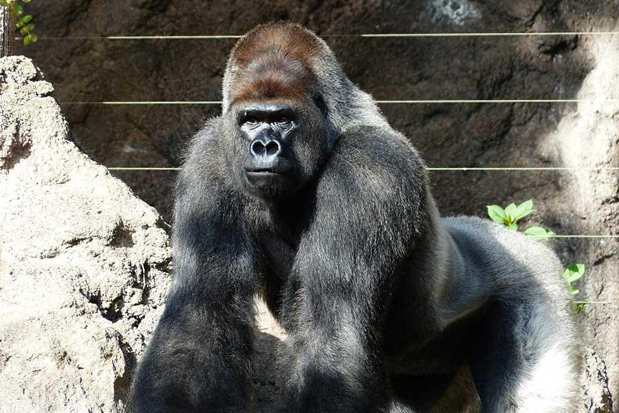 il Gorilla nella specialità Karate